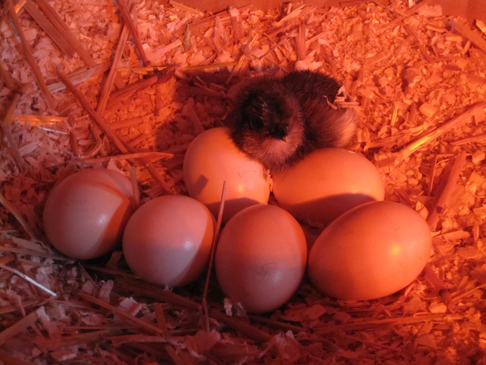 a broody adventure u0026 tips on broody hens tilly u0027s nest